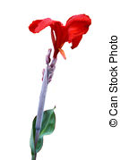 Stock Photography of Kana Flowers (Canna Lily or Canna Indica.