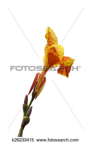 Stock Image of Kana Flowers (Canna Lily or Canna Indica) k26233415.