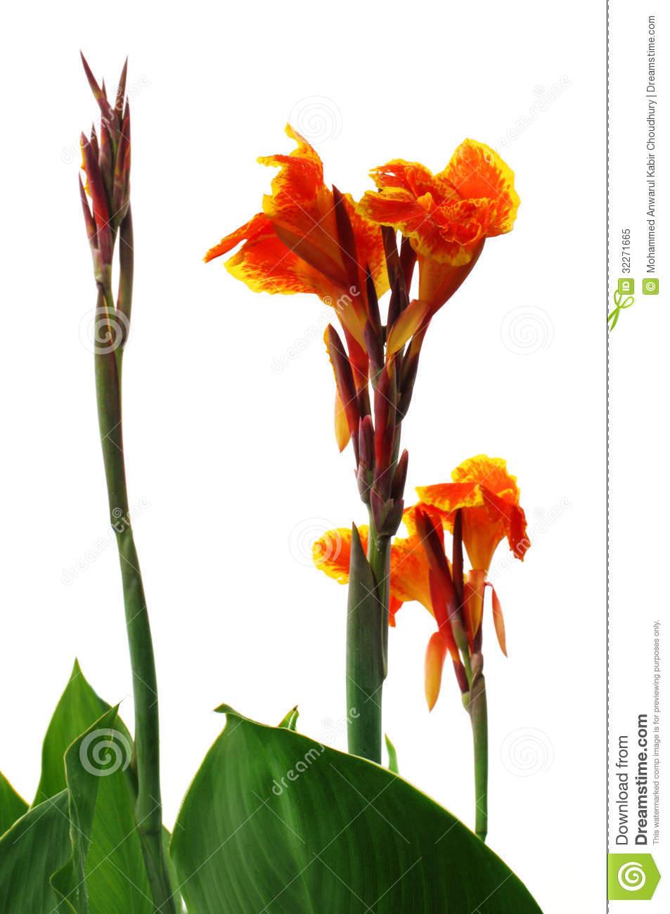 Kolaboti Flower Royalty Free Stock Photo.