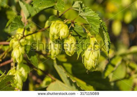 Cannabaceae Stock Photos, Royalty.