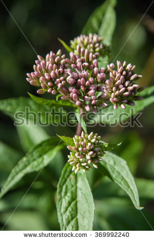 Eupatorium Stock Photos, Royalty.