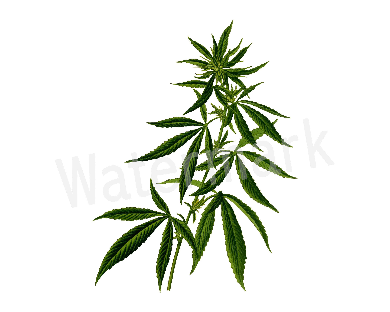 Cannabis Plant SVG Clipart, Marijuana Leaf, Weed Leaf Gift, Smoke Weed  Party, Legalize Weed, Marijuana T.