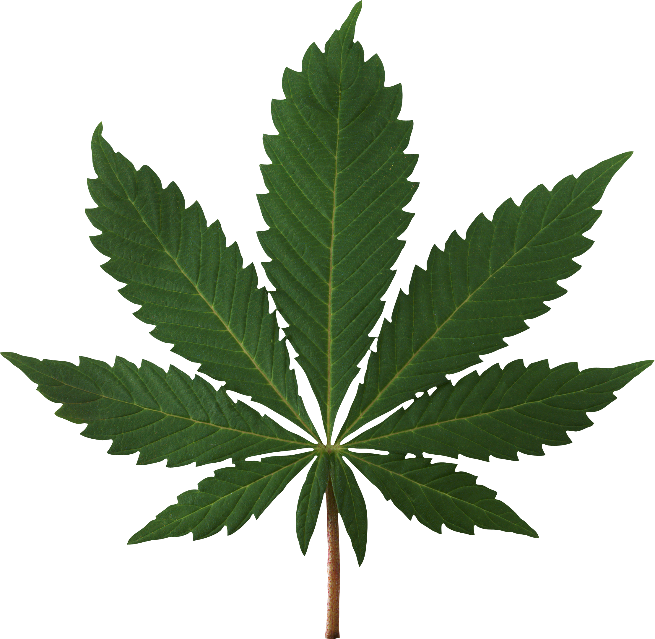 Cannabis Leaf PNG Image.