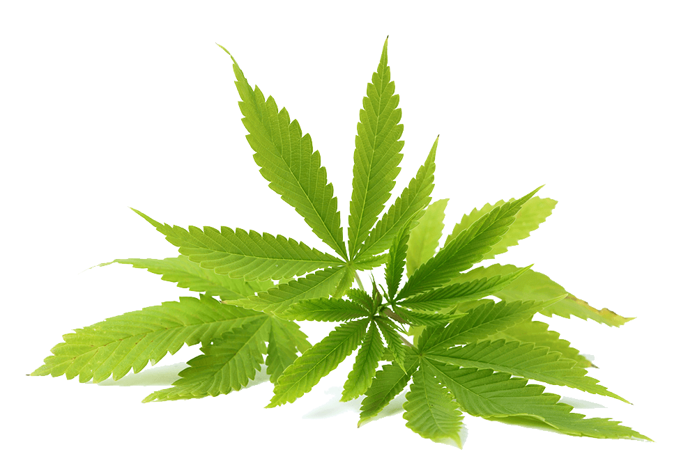 Cannabis PNG images free download.