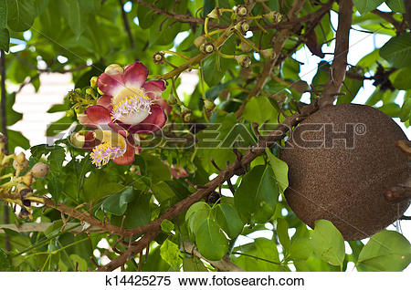 Stock Image of Cannon ball tree flower. k14425275.