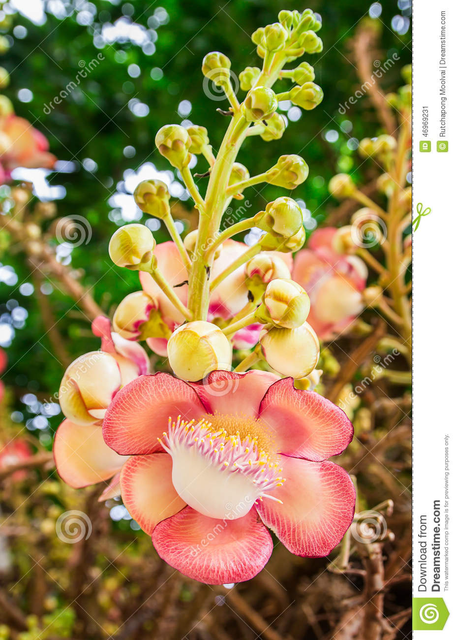 Beautiful Round White Magenta Color Flower Of Cannon Ball Tree.