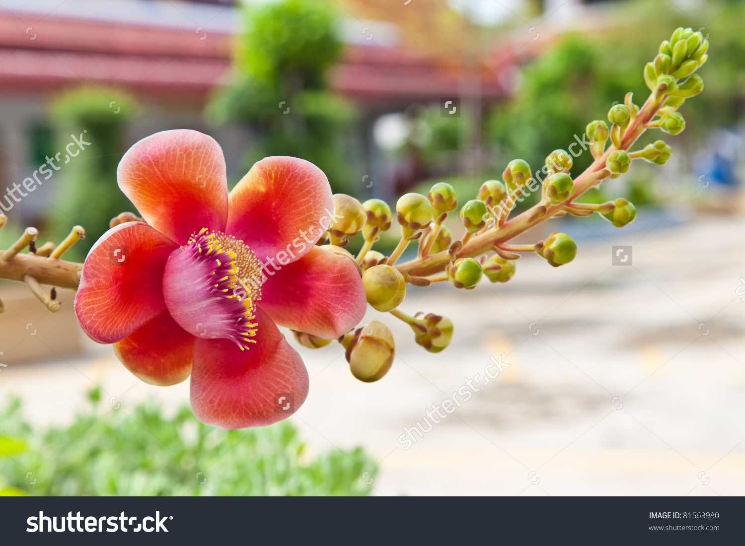Flower Cannon Ball Tree Stock Photo 81563980.