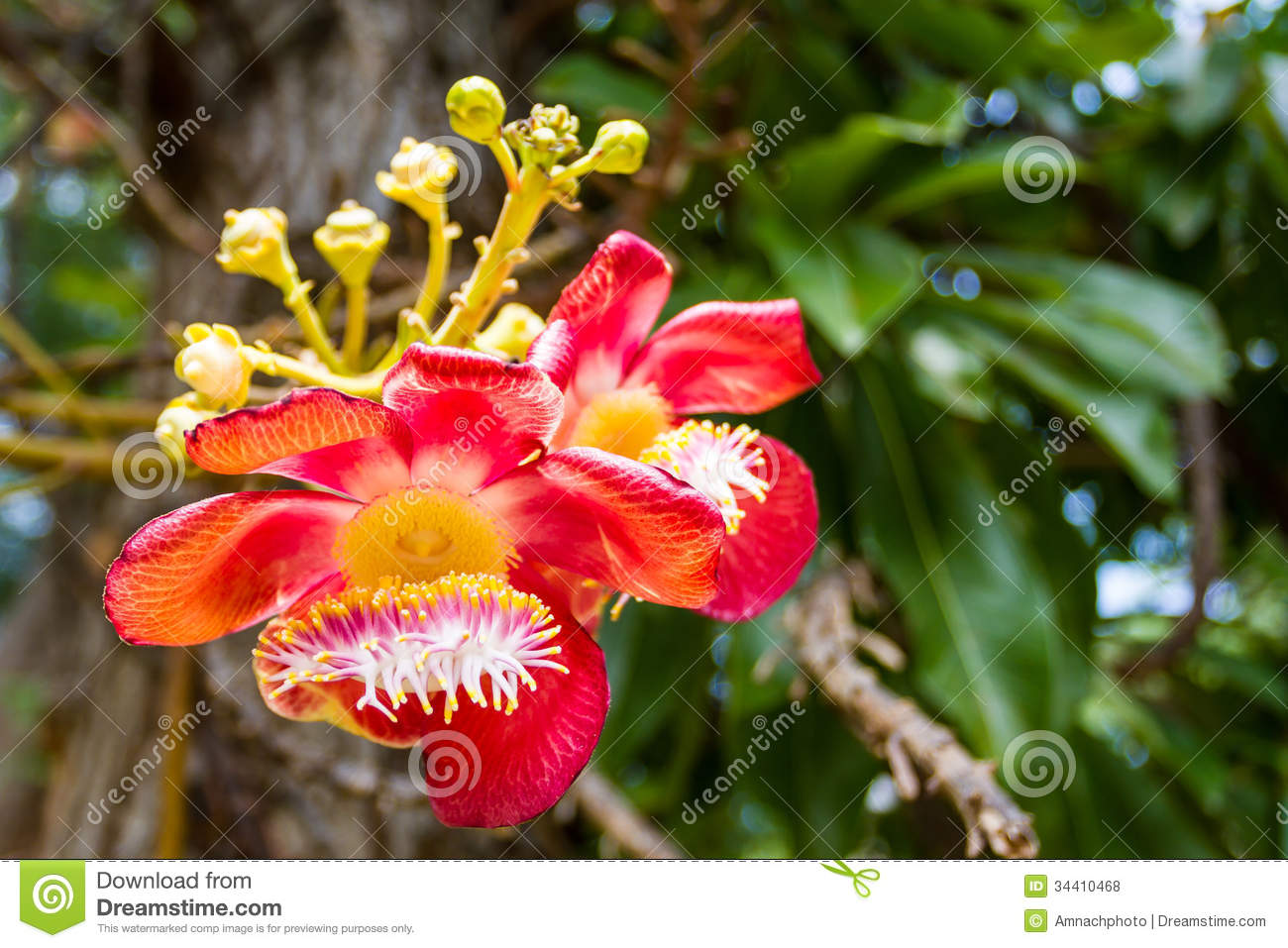 Cannonball Tree Flower Royalty Free Stock Photos.