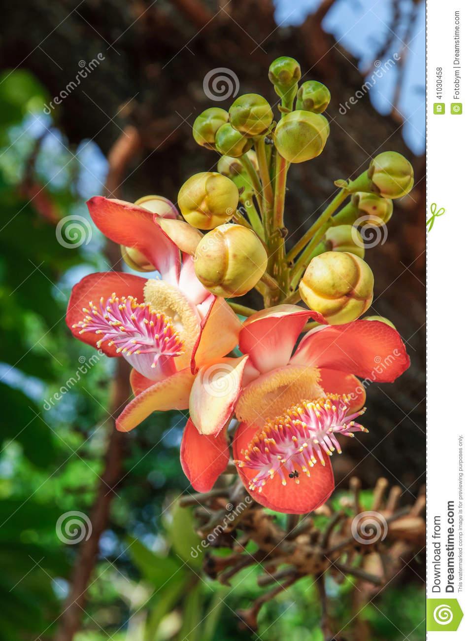 Cannonball Tree Flowers, Couroupita Guianensis Stock Photo.