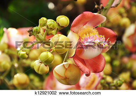 Stock Photo of Cannonball Tree flowers k12921002.