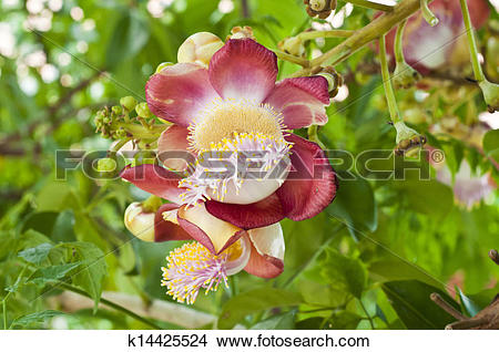 Stock Photo of Cannon ball tree flower. k14425524.