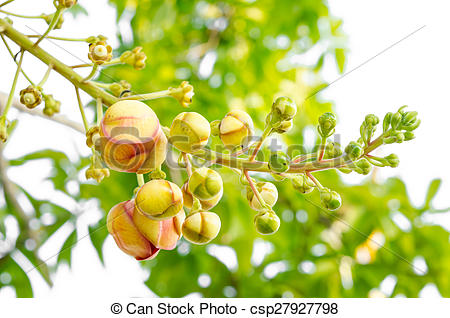 Stock Photographs of Young Sala or Cannon Ball, Cannon Ball Tree.
