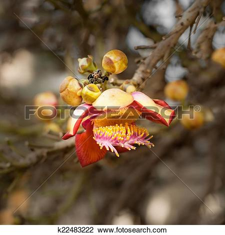Stock Photo of Beautiful tropical Cannon ball tree flower growing.