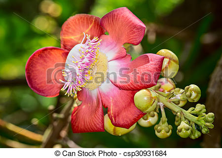 Pictures of Cannonball tree flower (Couroupita guiata).