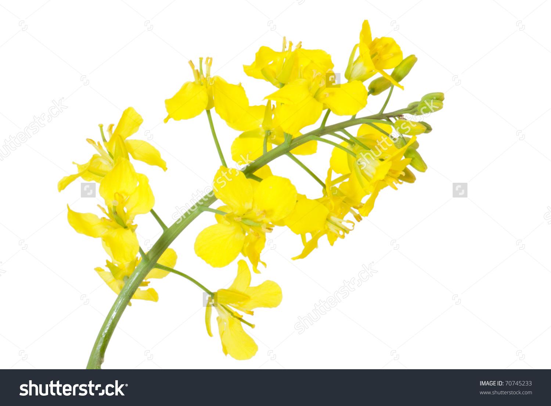 Rapeseed Flower Clip Art.