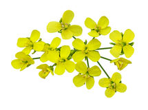 Canola Stock Illustrations.