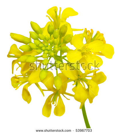 Rapeseed Flower Stock Photos, Royalty.