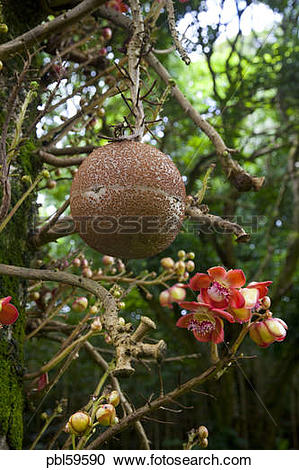 Stock Photography of Cannonball tree, Senator Fong's Plantation.