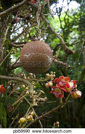 Stock Photography of Cannonball tree, Senator Fong's Plantation.