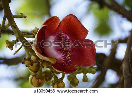 Stock Images of flower tree asia cambodia cannonball southeast.