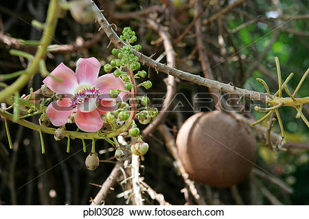 Pictures of Cannonball tree, Foster Botanical Gardens, Honolulu.