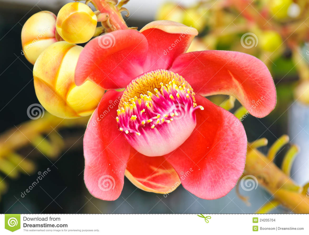 Cannonball Tree Flower Stock Images.