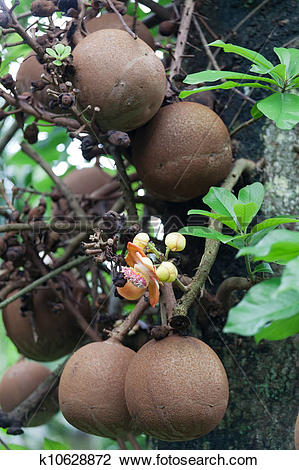 Stock Photo of Cannonball tree : couroupita guianensis aubl.