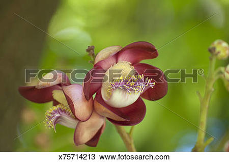 Stock Photo of The Cannonball Tree flowers in a garden setting.