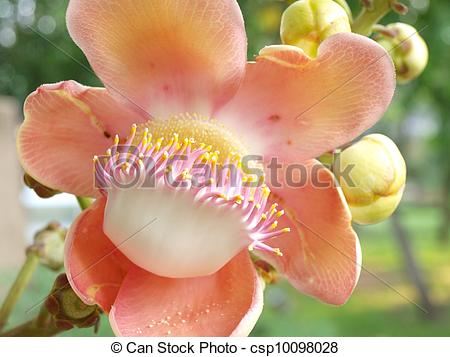 Stock Photo of flower from the cannonball tree (Shorea robusta.