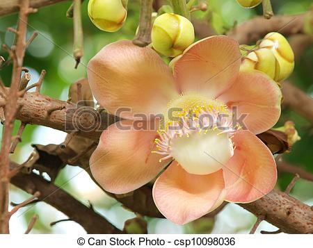Stock Photos of flower from the cannonball tree (Shorea robusta.