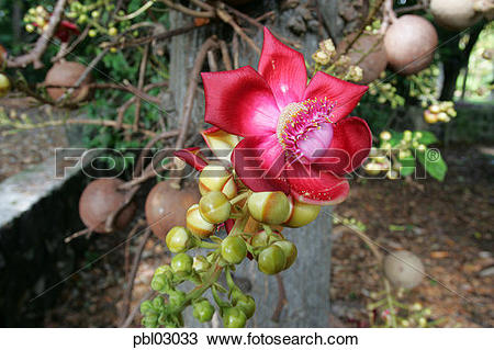 Stock Photo of Cannonball tree, Foster Botanical Gardens, Honolulu.