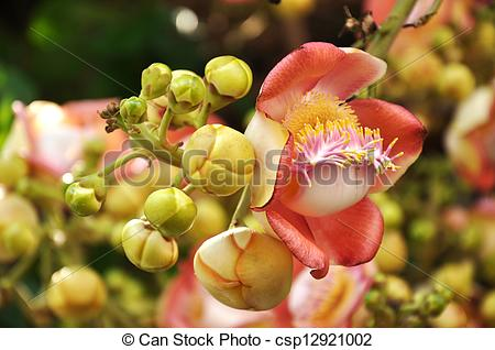 Stock Photography of Cannonball Tree flowers do not have nectar.