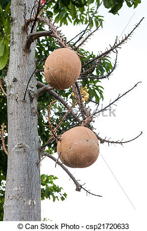 Stock Photos of Sal trees cannonball tree or sal of india.