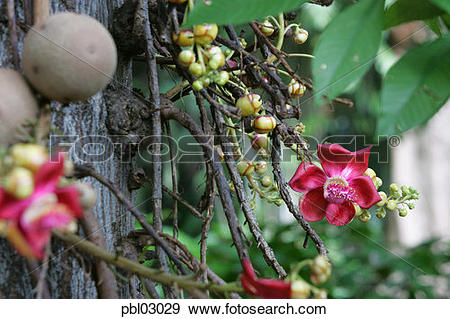 Stock Photograph of Cannonball tree, Foster Botanical Gardens.
