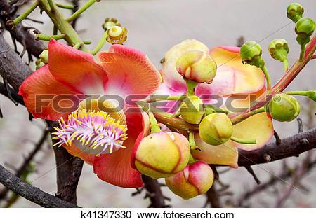 Stock Photography of Sala flora or Shorea robusta flower on.