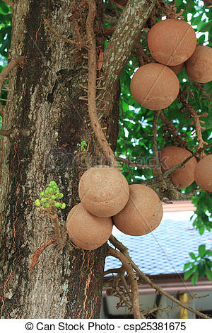 Picture of cannonball tree or sal of india.