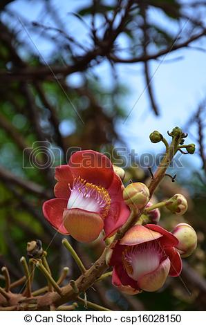 Stock Images of Flower of cannonball tree csp16028150.