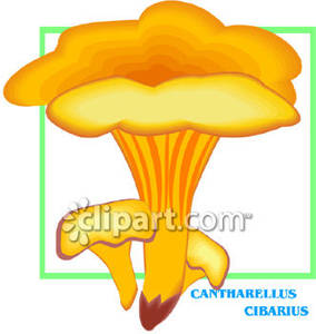 Cantharellus_Cibarius_Mushroom_Royalty_Free_Clipart_Picture_081220.