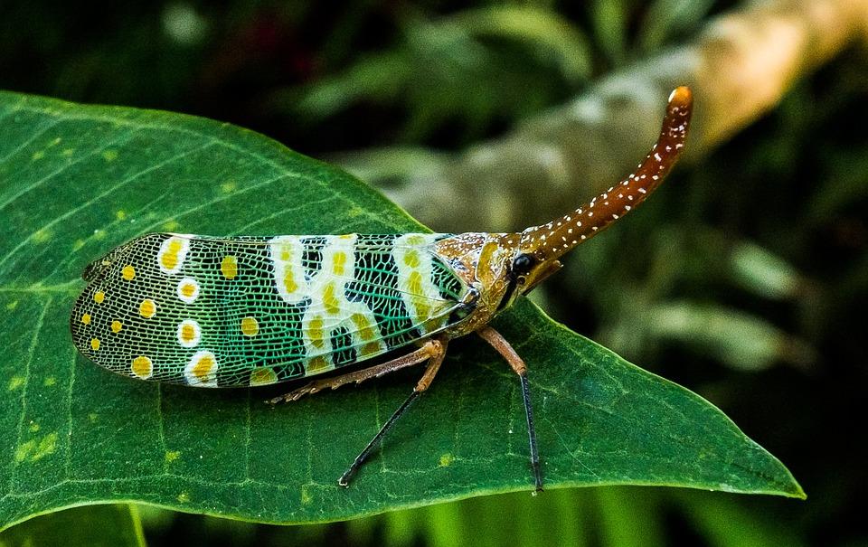Free photo: Canthigaster Cicada, Fulgoromorpha.