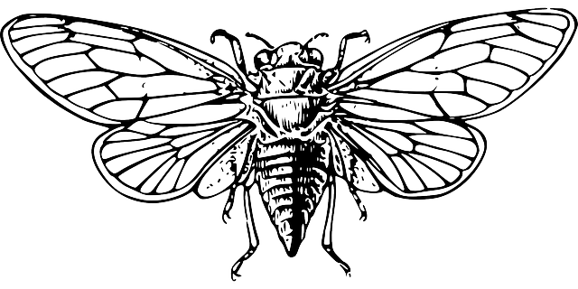 Free vector graphic: Cicada, Wings, Loud, Insect.