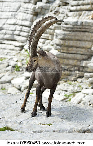 "Stock Photography of ""Alpine Ibex (Capra ibex), Canton of St."