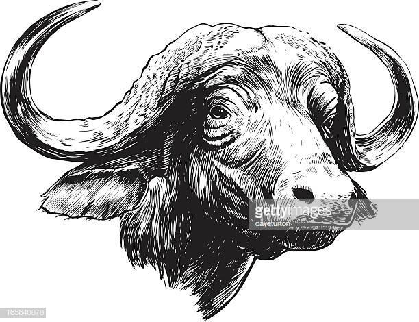 30 Cape Buffalo Stock Illustrations, Clip art, Cartoons & Icons.