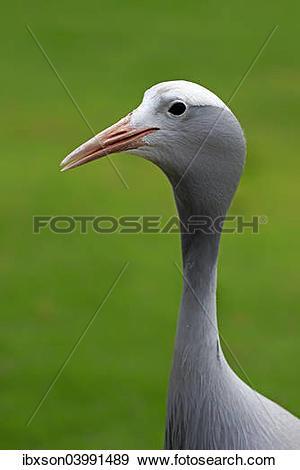 "Stock Photograph of ""Blue Crane (Anthropoides paradisea), adult."