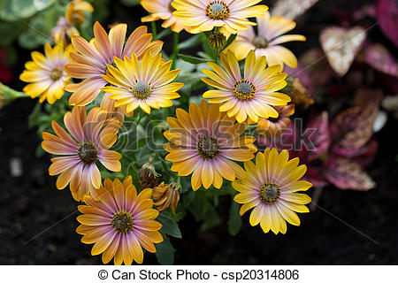 Stock Photography of Yellow cape daisy in garden csp20314806.