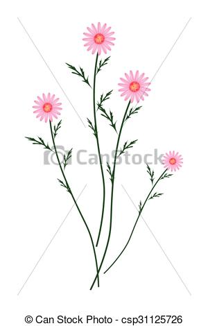 Vector Illustration of Old Rose Daisy Blossoms on A White.
