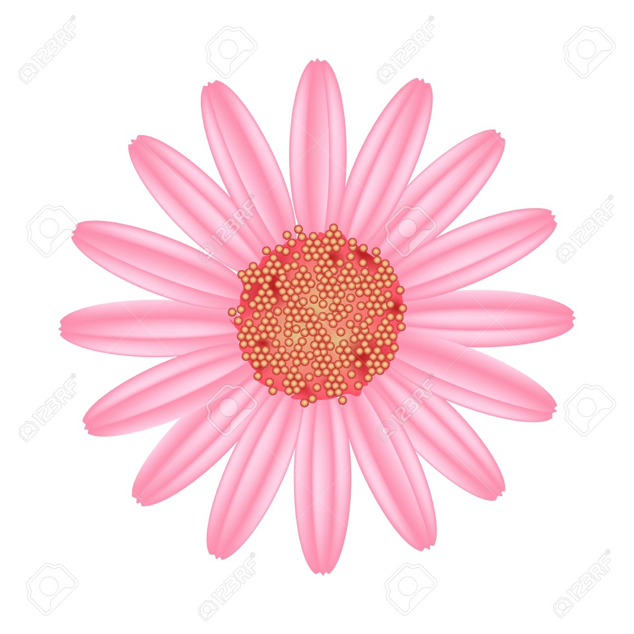 Symbol Of Love, Bright And Old Rose Osteospermum Daisy Flower.