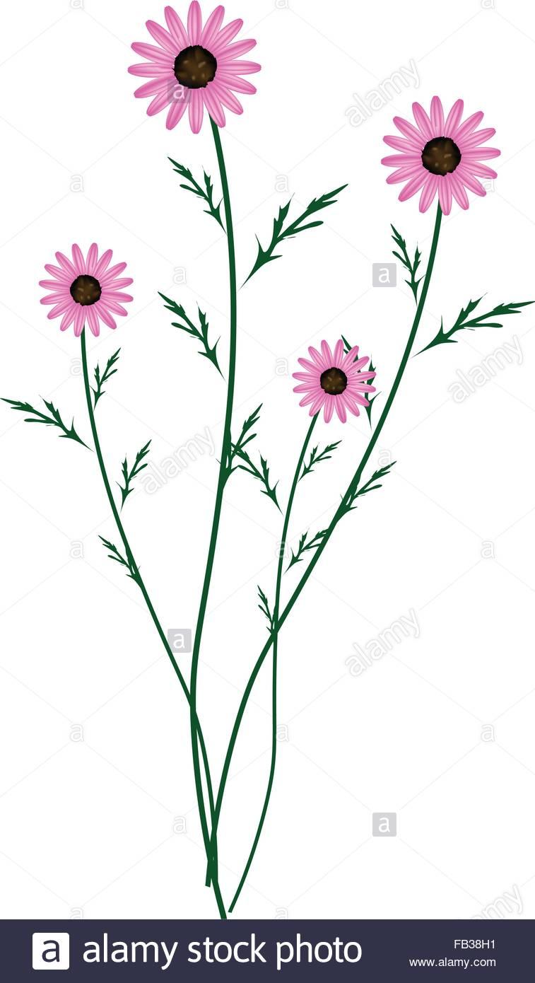 Symbol Of Love, Bright And Beautiful Purple Osteospermum Daisy.