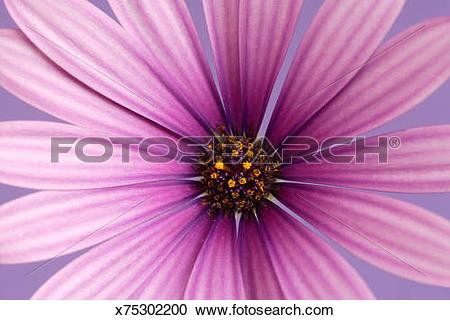 Stock Photography of Cape daisy (Osteospermum var.), detail.