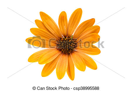 Pictures of Osteospermum Daisy or Cape Daisy Flower Flower.