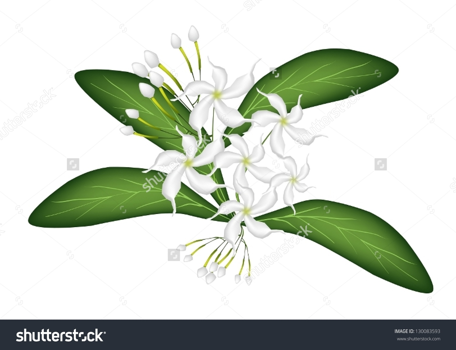 Beautiful Flower Illustration Lovely White Common Stock Vector.